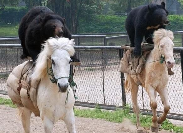 Bear Riding Horsebacks in russia
